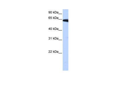 PIGW Antibody