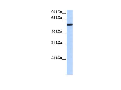 CBX2 Antibody