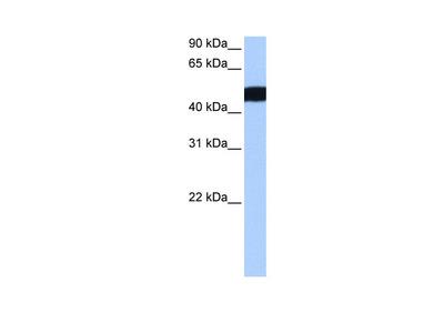 CROCCL2 Antibody