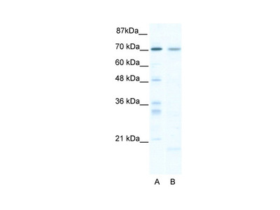 SOX13 Antibody