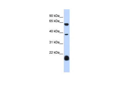 HTR3E Antibody