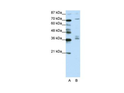 AKAP9 Antibody