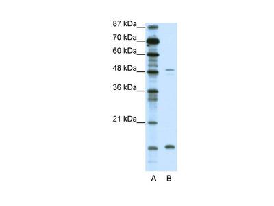 FBN1 Antibody