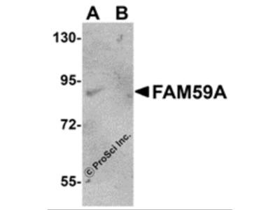 FAM59A Antibody
