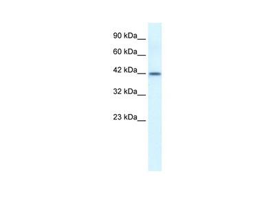 ESR2 Antibody