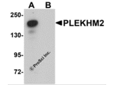 PLEKHM2 Antibody