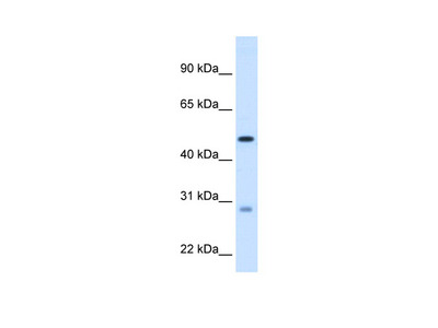 ECHS1 Antibody