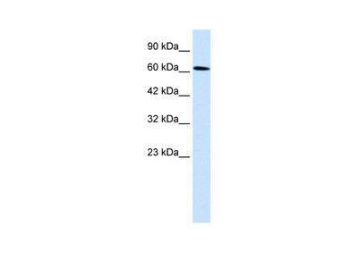 UBP1 Antibody