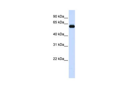 TRIM60 Antibody