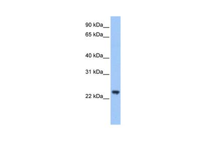 TRIM48 Antibody