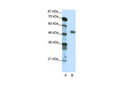 NFYC Antibody