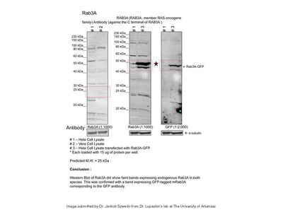 RAB3A Antibody