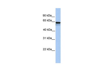 LCK Antibody