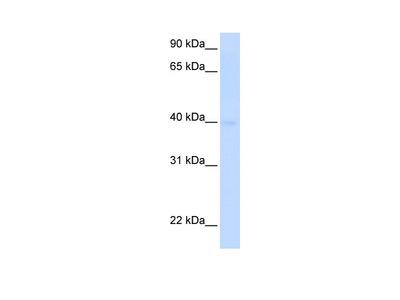 SLC25A36 Antibody