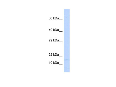 NINJ1 Antibody