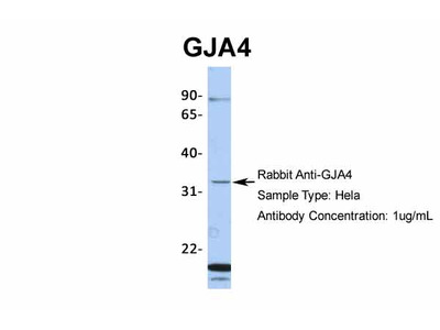 GJA4 Antibody