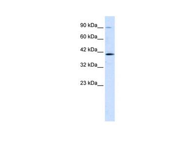 CCDC16 Antibody