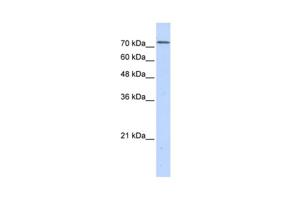 BOP1 Antibody