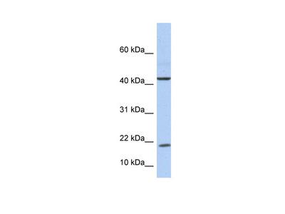 IL9 Antibody