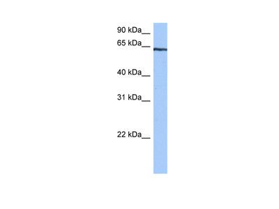 TTC6 Antibody