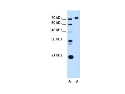 PTPRN Antibody