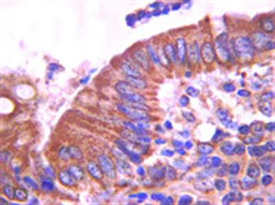 Anti-E-cadherin Antibody, clone DECMA-1