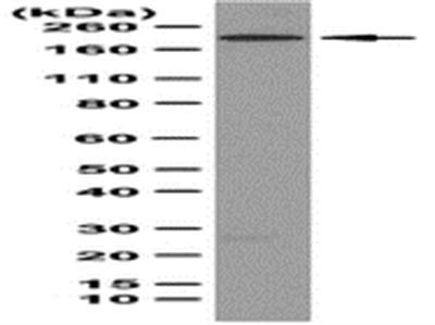 Anti-Caspr Antibody, clone K65/35