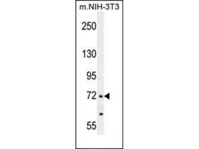 NUAK2 antibody