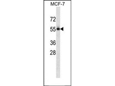 PVRL3 antibody