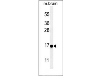 Cleaved LC3 antibody