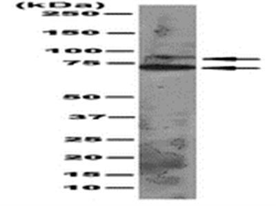 Anti-pan Ago Antibody, clone 2A8