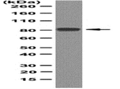 Anti-REP-1, clone 2F1