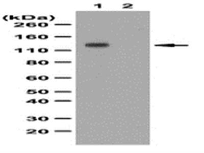 Anti-phospho-FGFR-1 (Tyr653/Tyr654) Antibody