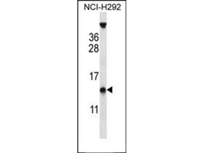 PYDC1 antibody