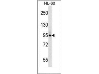 PLCD1 antibody
