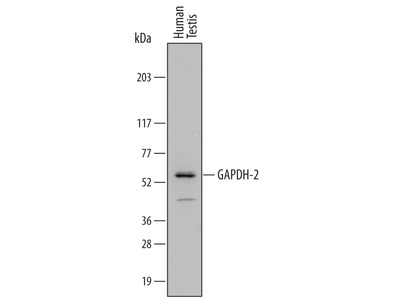 Human GAPDH-2 Antibody