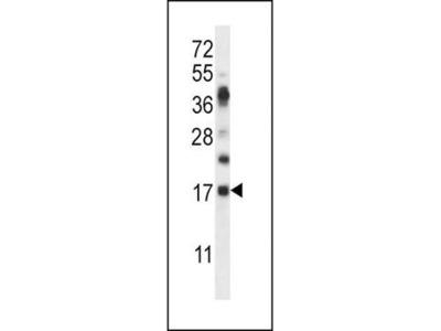 RNASE6 antibody