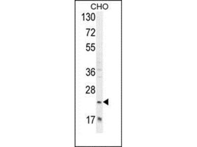 RILPL2 antibody