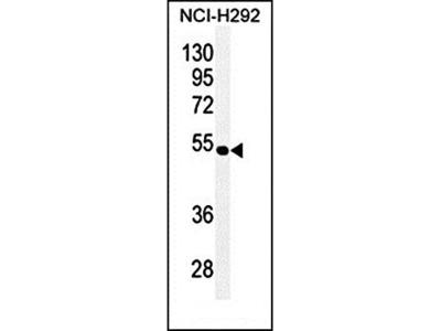 TRIM5 antibody