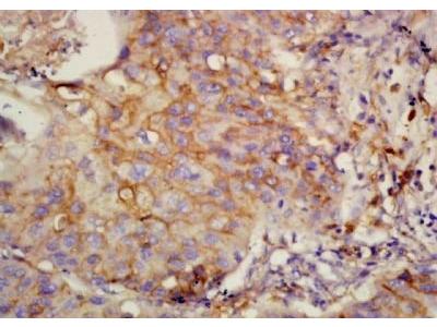 UQCRFS1 antibody
