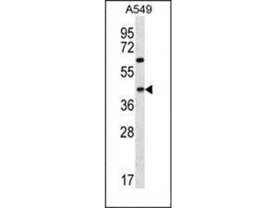 C109B antibody
