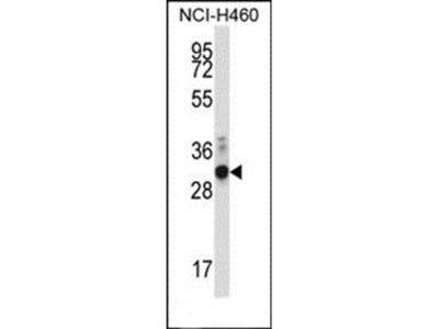 ZFPL1 antibody