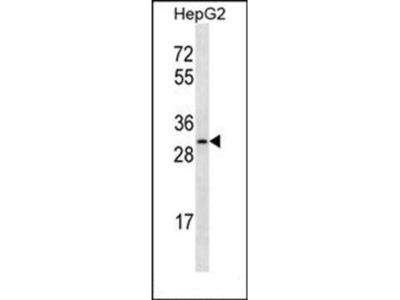 OR4C12 antibody