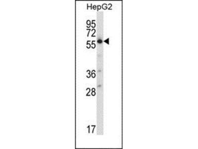 SLC30A1 antibody