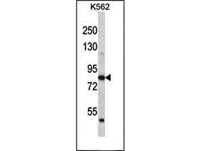 ABTB2 antibody
