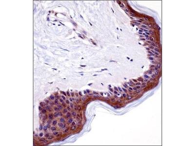 LSM14A antibody