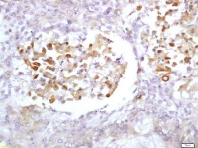 PTP4A3 antibody
