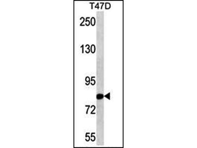 THOC1 antibody