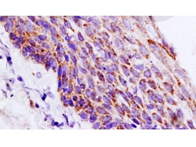Period circadian protein 2 antibody