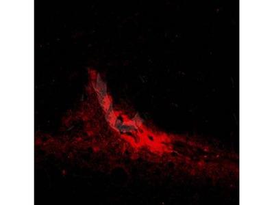 AANAT antibody